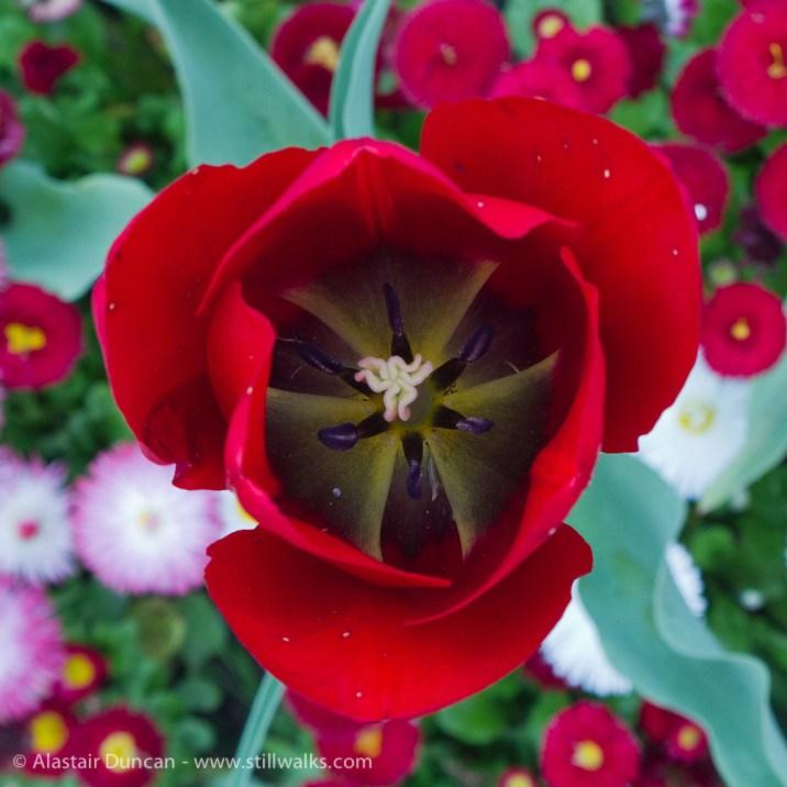 red tulip interior