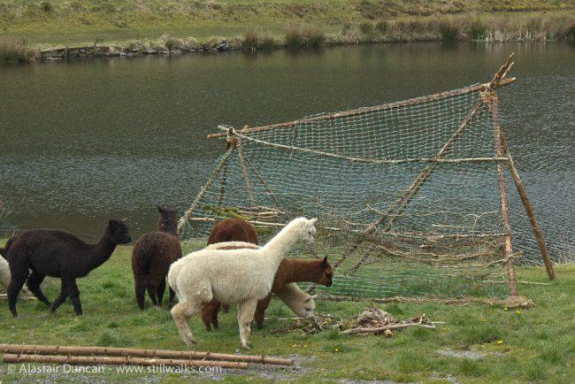 Alpacas and Woodland Weaving installation