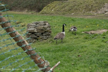 Canada Geese at The waterside-Felindre