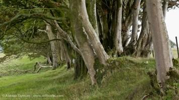 Dorset beeches
