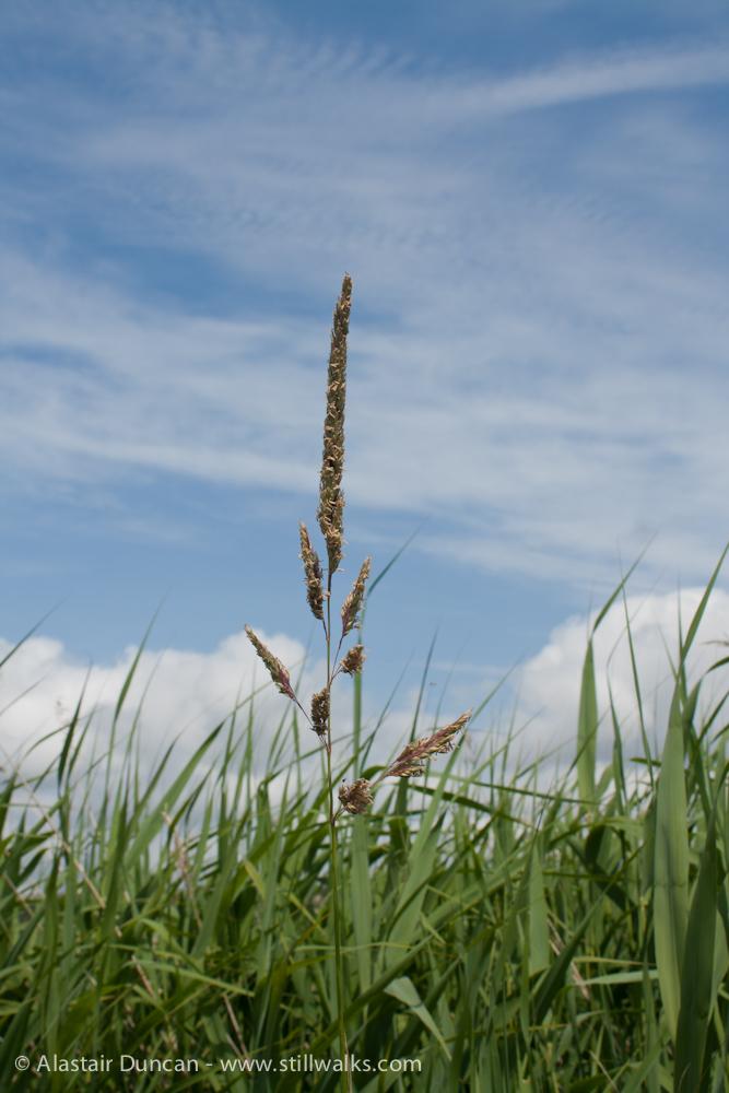 tall Marsh grass