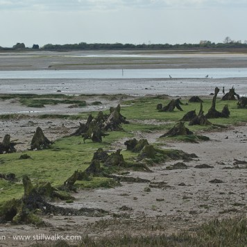 Ancient tree stumps - Pagham