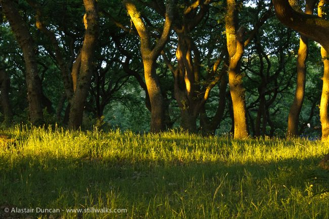 Evening in the oak wood