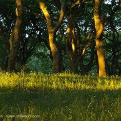 Evening light in the oak wood