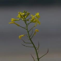 Wildflowers - sea radish