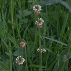 Wildflowers-Ribwort plantain