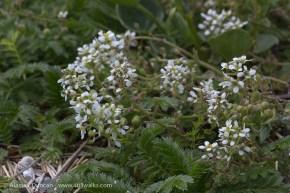 Wildflowers-scurvy grass
