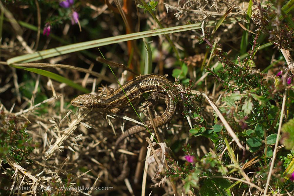 Cliff path lizard