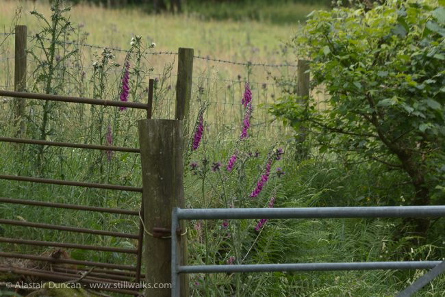 Gate and foxgloves