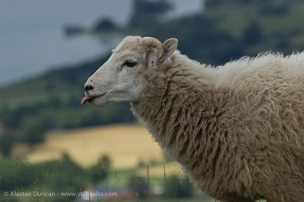 rude sheep