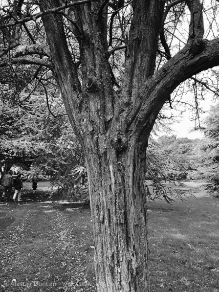 aged hawthorn tree