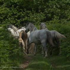 August - Wild Ponies, Wales