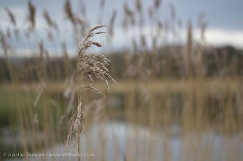 Marsh grass seed head