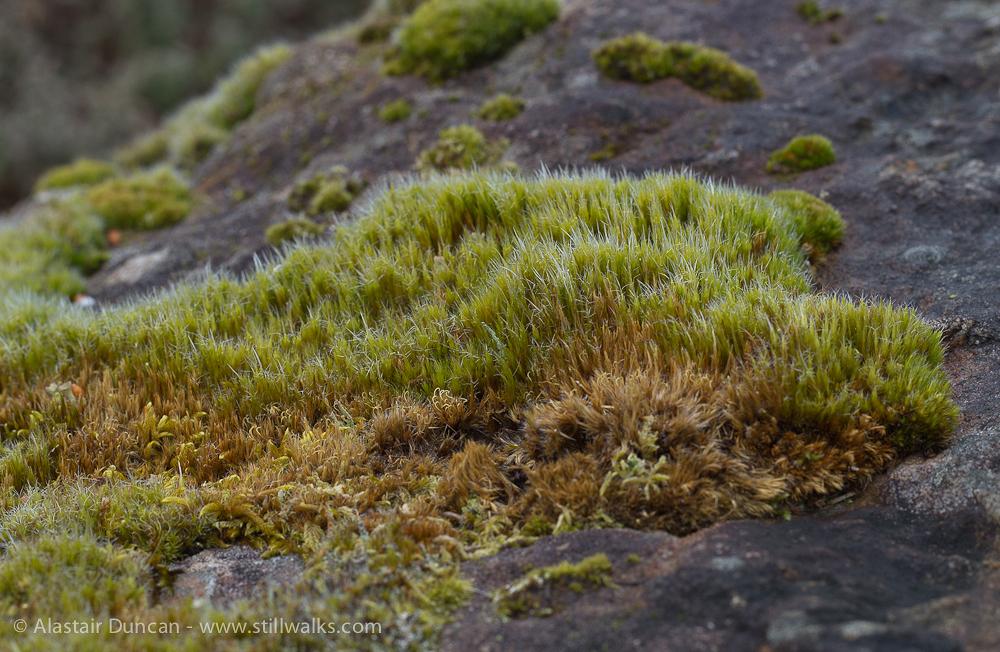 cheery moss