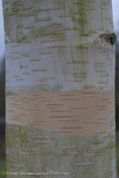 silver birch bark 1