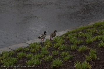 ducks enjoying the rain