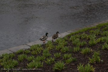ducks enjoying the rain
