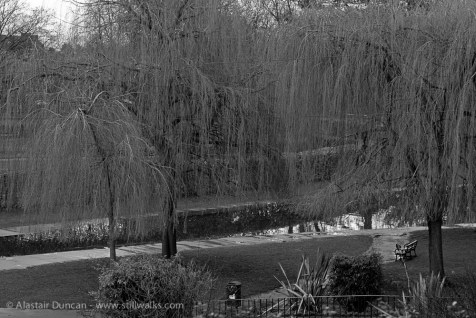 Willows weeping - monochrome
