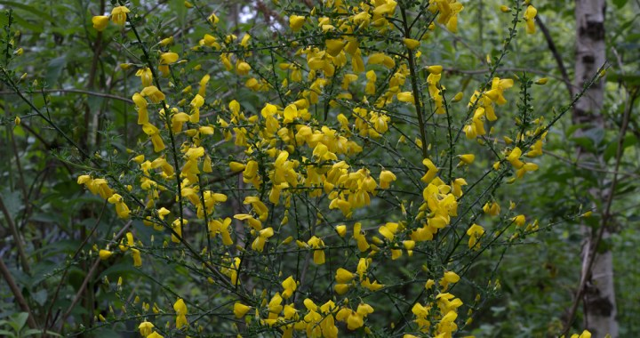 Yellow flowering broom