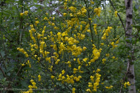 Yellow flowering broom