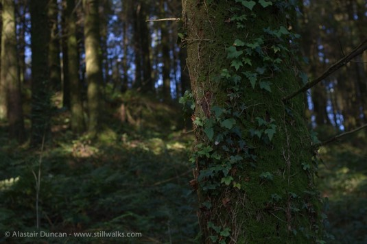 Tree ivy forest