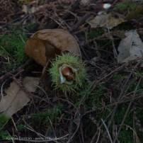beech nut opening