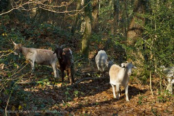 small herd of goats in forest