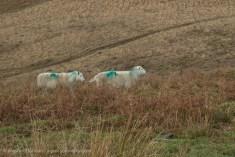 sheep and bracken