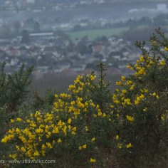 Whin or gorse