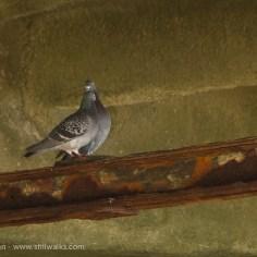 lone pigeon