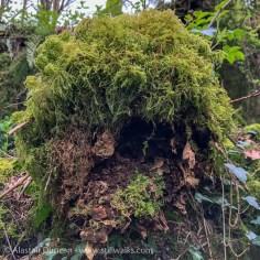 Shaggy moss