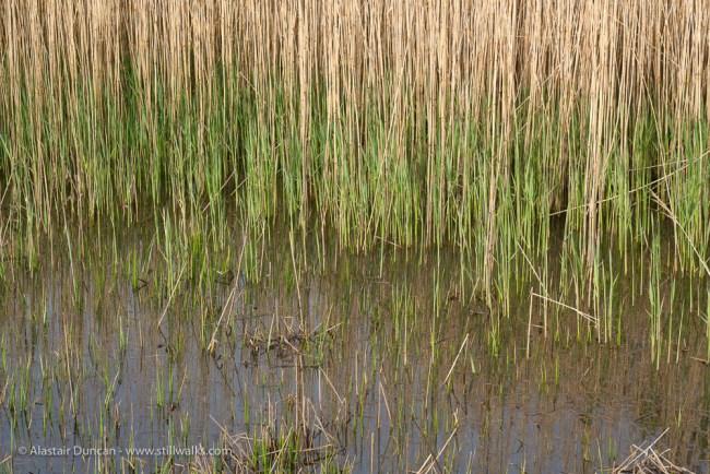 new marsh grass growth