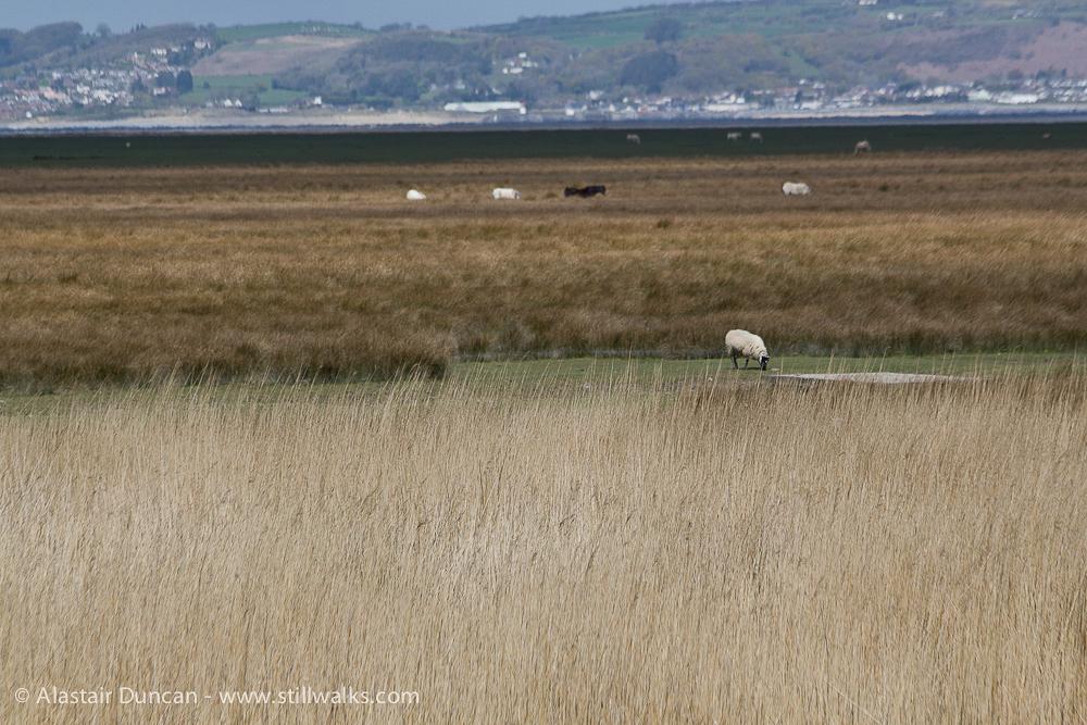 salt marsh and sheep