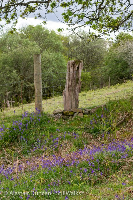 bluebells on the hillside