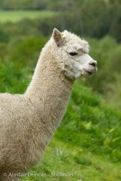 Owen the alpaca