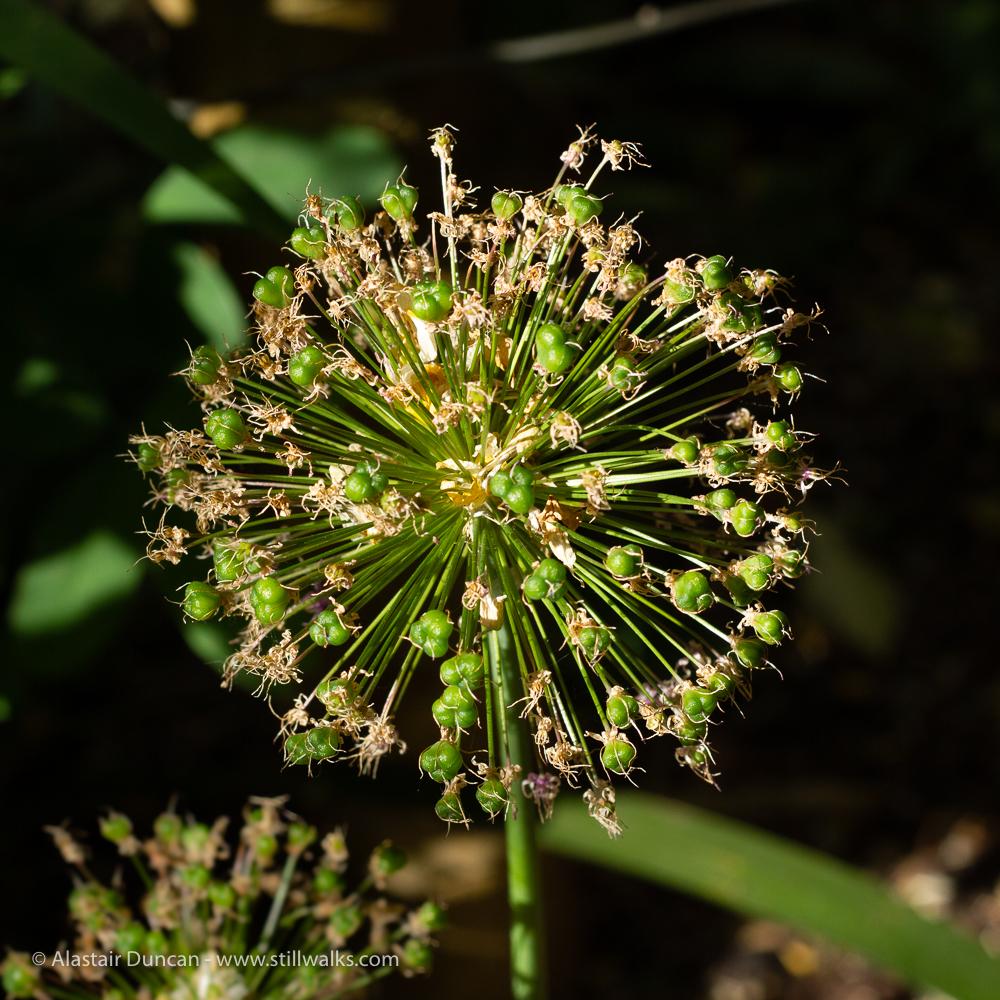 Allium flower finished