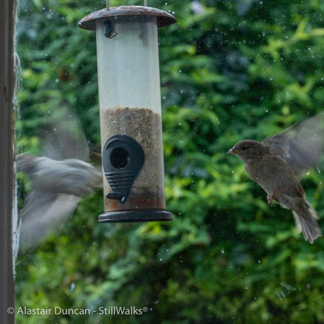 sparrows fluttering