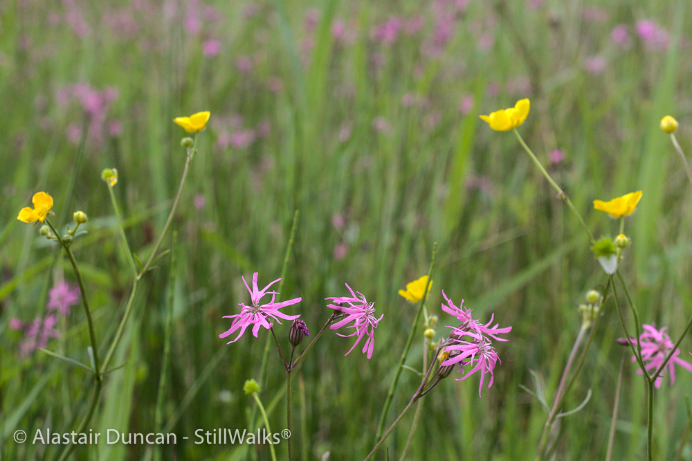 marsh wild flowers