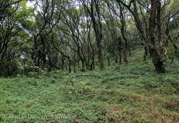 ivy woodland