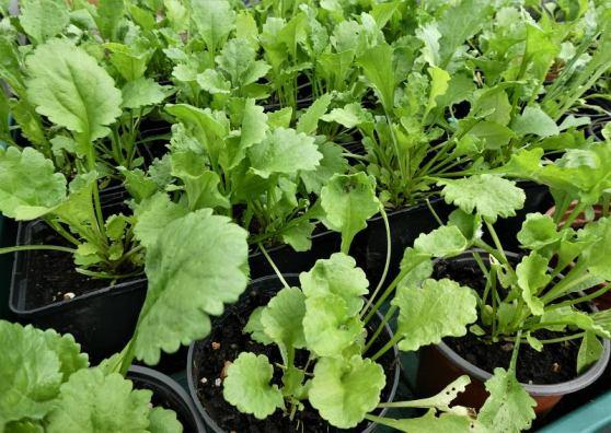 Trudys ox-eye seedlings