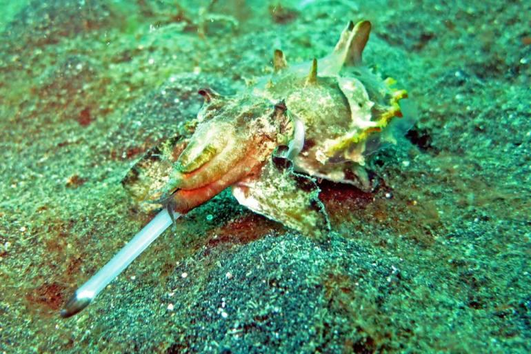 Flamboyant Cuttle Fish catching a Myid Shrimp