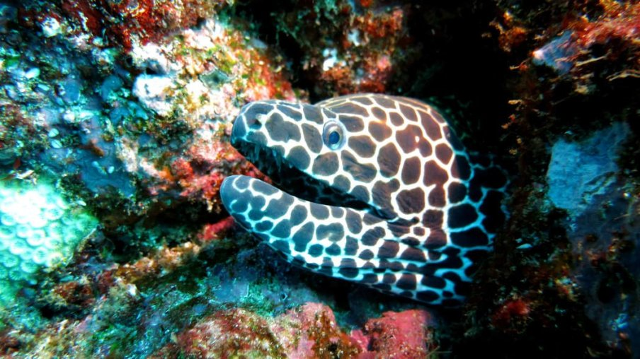Especie que encontrarás de buceo en Indonesia