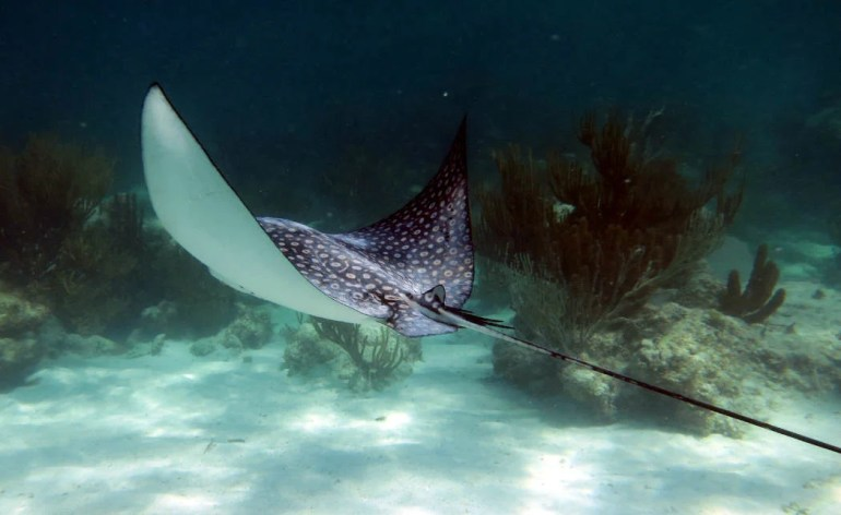 snorkel Xcalak An eagle ray gliding past