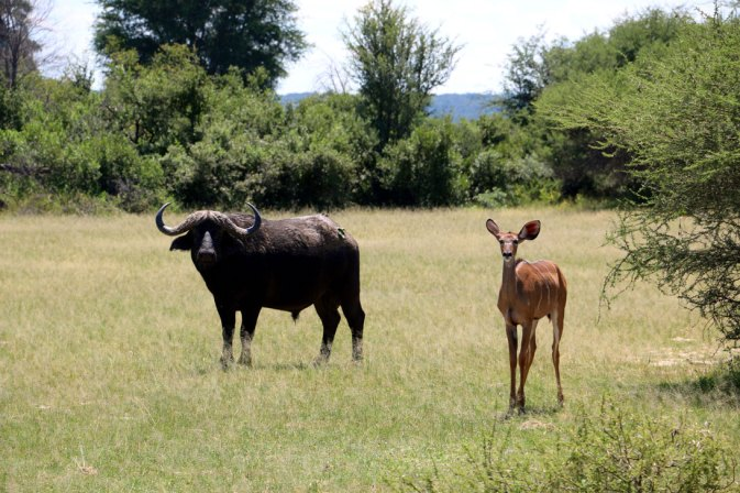 Who is watching who?! A buffalo and a kudu.