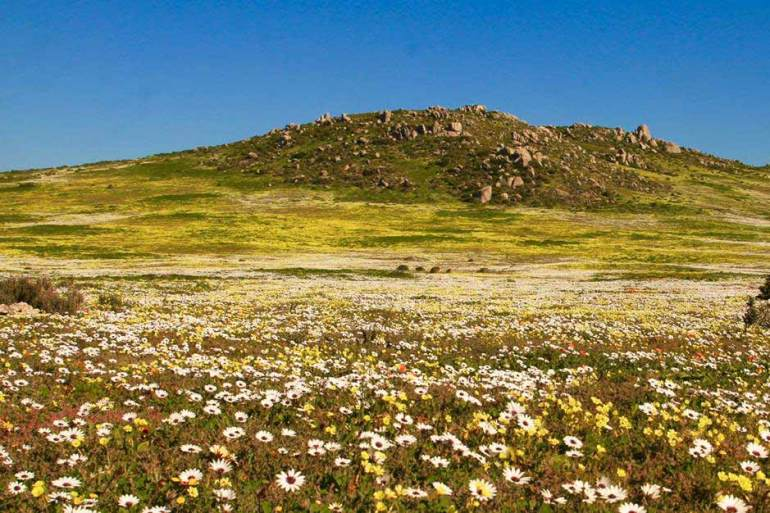 Flower fields in Namaqualand in spring