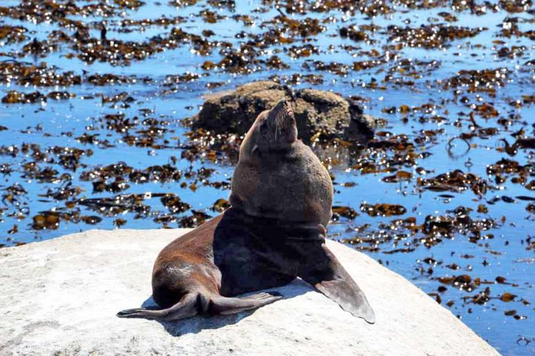 A Brown Fur seal on the rock in Namaqualand