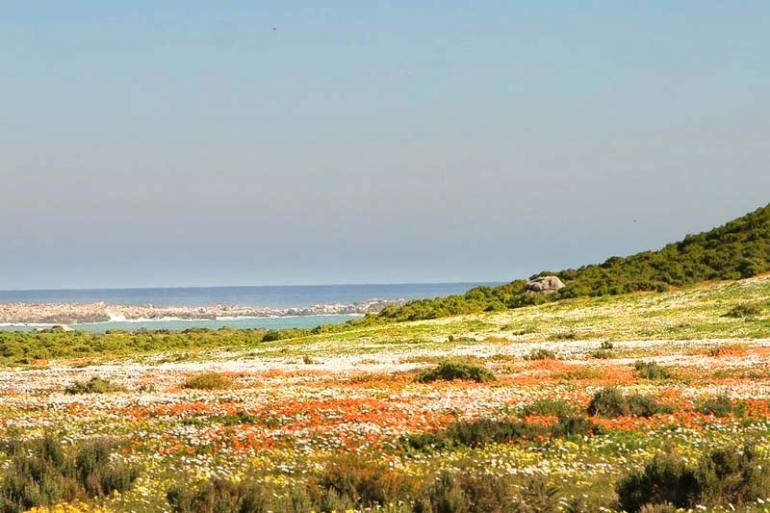 Flower season in the Namaqua National Park, Northern Cape
