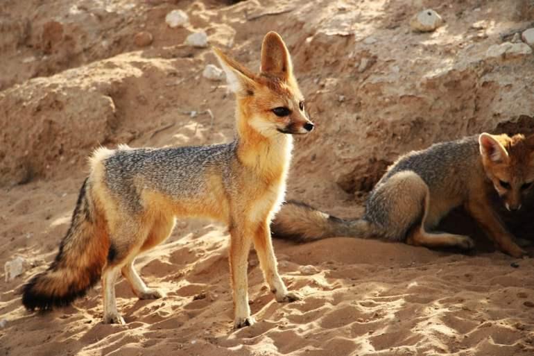 Young Cape Fox outside it's den.