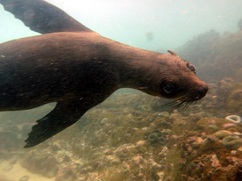 seal at Robberg