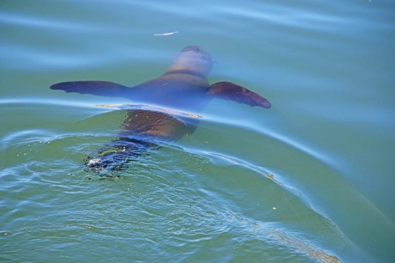 A Cape seal in water near the Waterfront in Cape Town